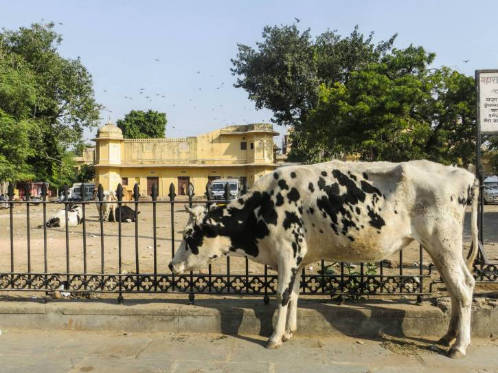 Cow in India Streets