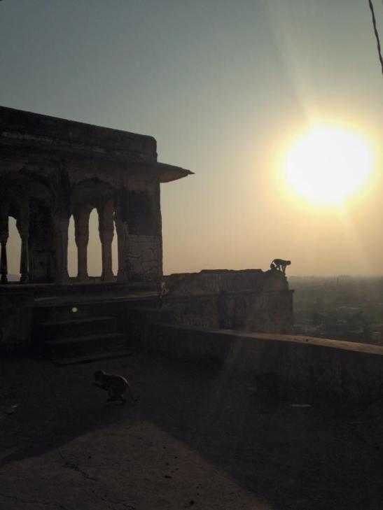 Monkey at the Sun Temple Jaipur